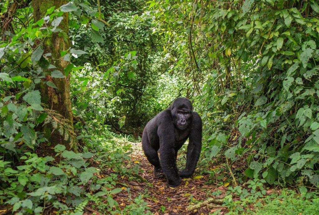 Bwindi National Park (Uganda)