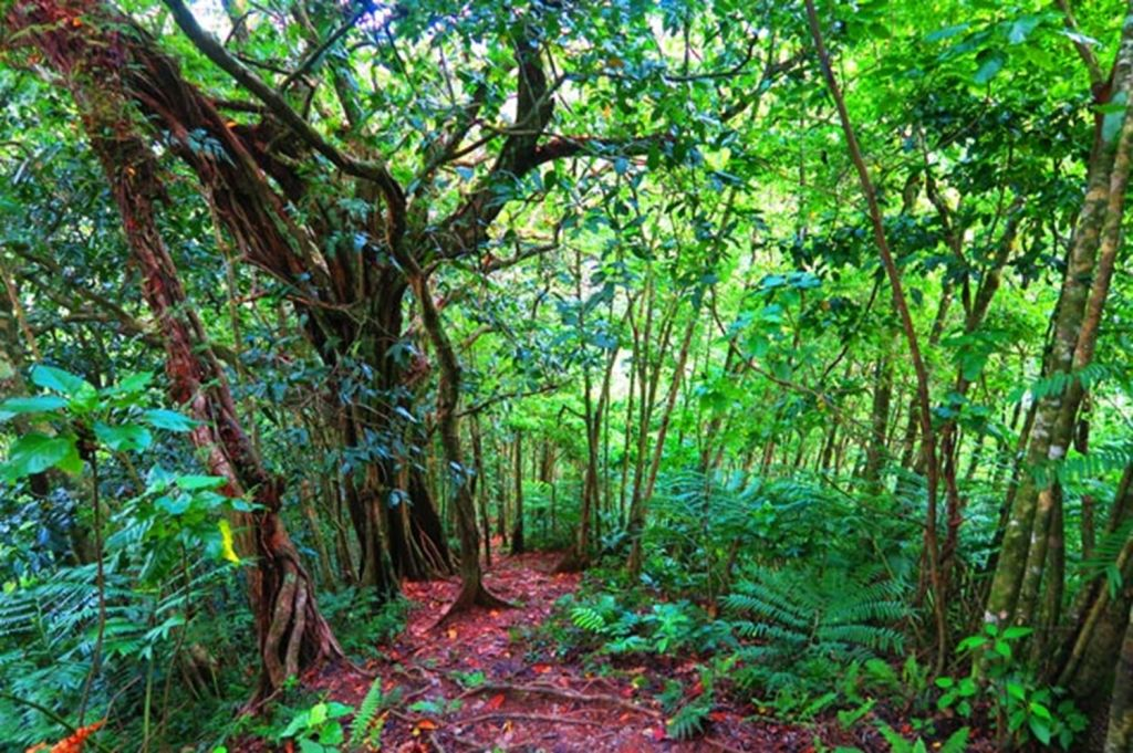 Cros-Island-Track-Rarotonga-Cook-Islands-thick-rainforest
