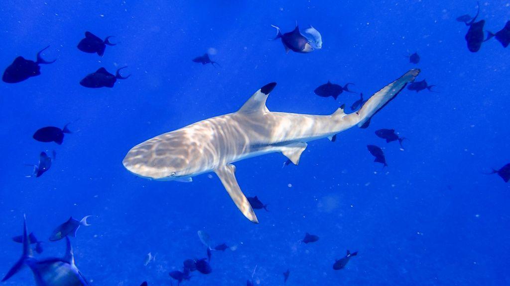 bali sharks - Sanur